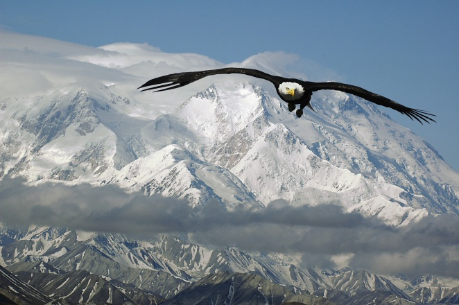 bald eagle in mountains